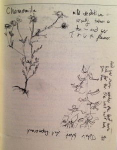 Hand Drawn Illustrations of Chamomile and St. John's Wort from For Tamara (p. 17), by Sarah Lang